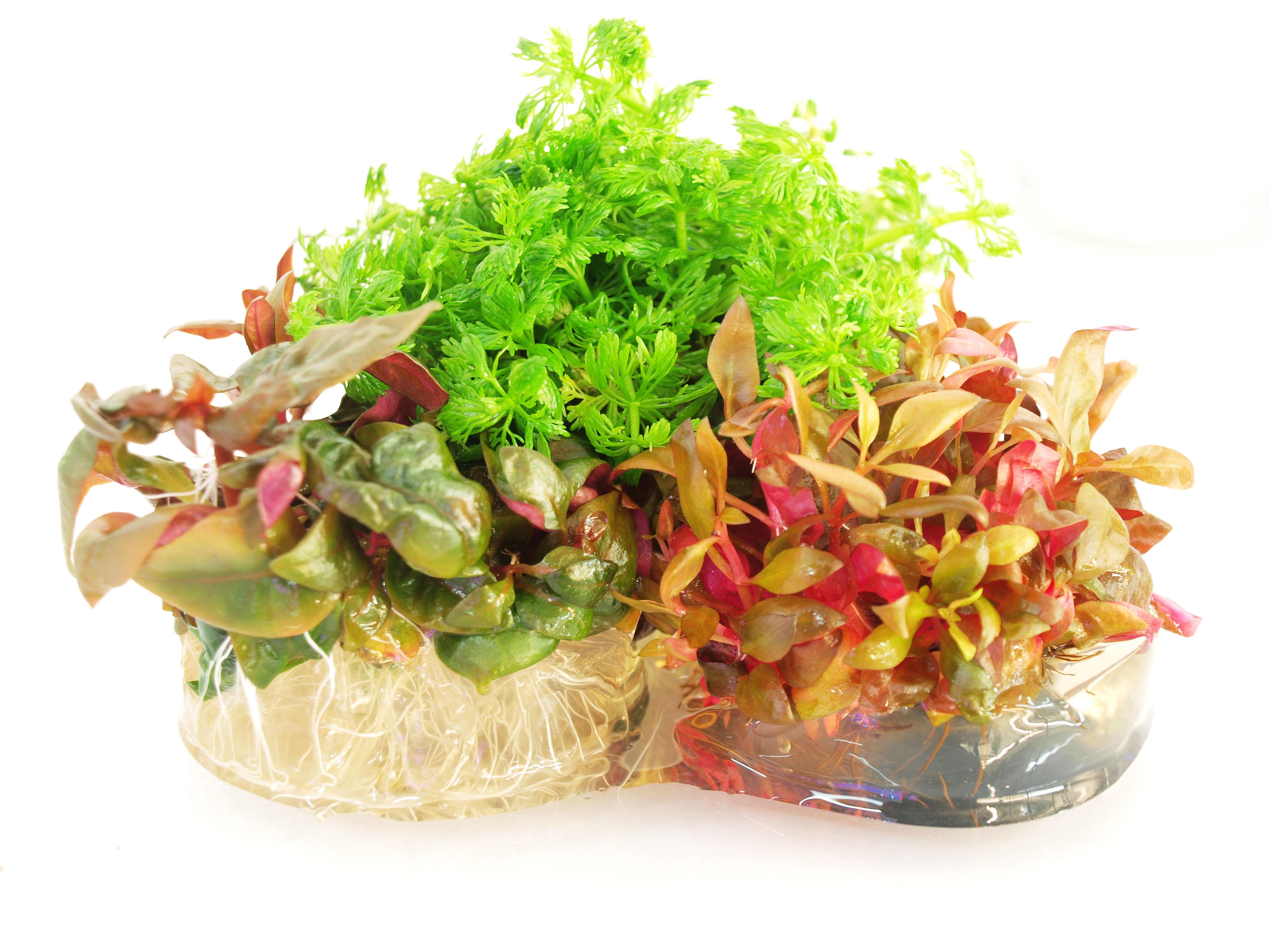 in vitro rośliny w żelu