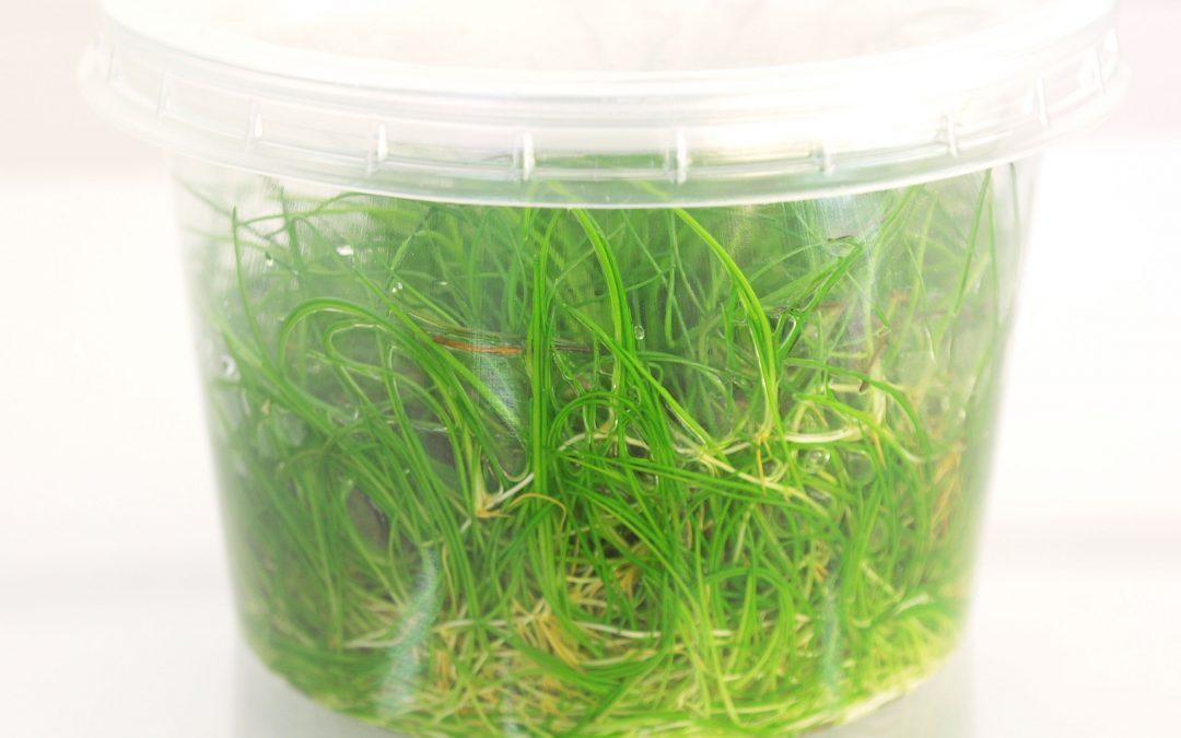 Czym się różnią rośliny in vitro od roślin w żelu?